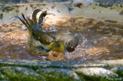Common Yellowthroat Warbler Female copyright Kim Smith - 1 of 4