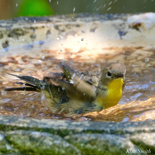 Common Yellowthroat Warbler Female copyright Kim Smith - 2 of 4
