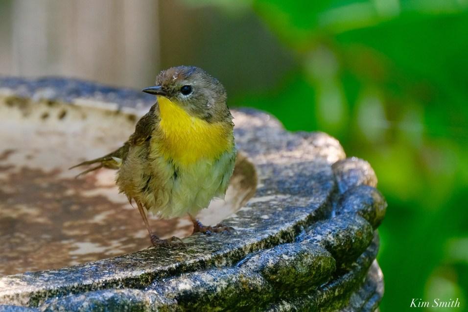 Common Yellowthroat Warbler Female copyright Kim Smith - 3 of 4