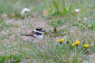 Killdeer Family Chick 2 days old Essex County Massachusetts copyright Kim Smith - 11 of 35