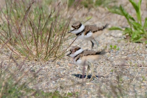 Killdeer Family chicks 5 days old Essex Coun ty Massachusetts copyright Kim Smith - 21 of 35