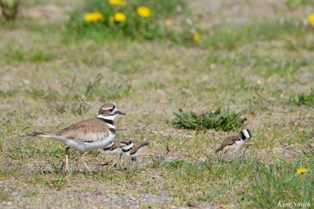 Killdeer Family chicks 5 days old Essex County Massachusetts copyright Kim Smith - 13 of 35