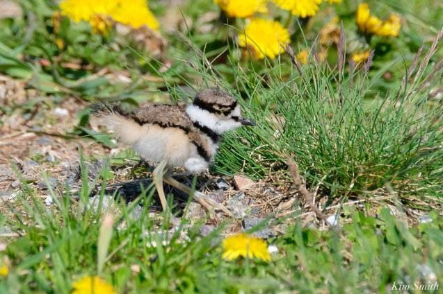Killdeer Family chicks 5 days old Essex County Massachusetts copyright Kim Smith - 16 of 35