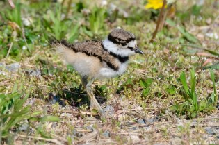 Killdeer Family chicks 5 days old Essex County Massachusetts copyright Kim Smith - 18 of 35