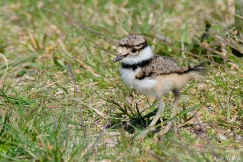 Killdeer Family chicks 5 days old Essex County Massachusetts copyright Kim Smith - 22 of 35