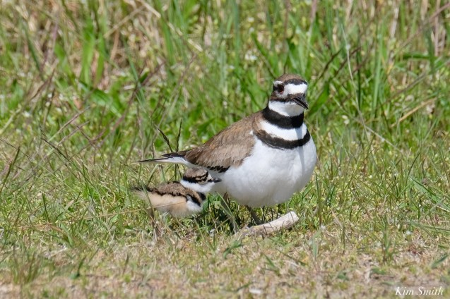Killdeer Family chicks 5 days old Essex County Massachusetts copyright Kim Smith - 24 of 35