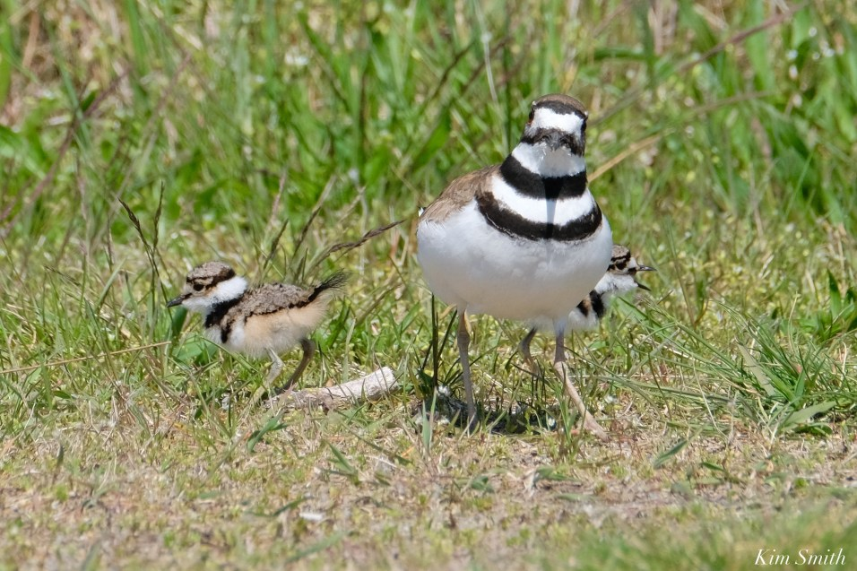 Killdeer Family chicks 5 days old Essex County Massachusetts copyright Kim Smith - 26 of 35