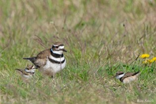Killdeer Family chicks 6 days old Essex County Massachusetts copyright Kim Smith - 29 of 35