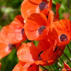 Red Oriental Poppy copyright Kim Smith - 4 of 6