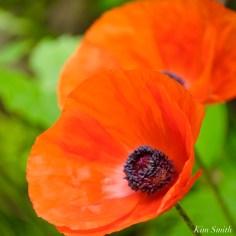 Red Oriental Poppy copyright Kim Smith - 6 of 6