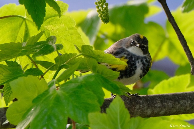 Yellow-rumped Warbler Female copyright Kim Smith - 3 of 6