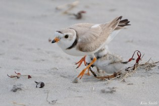 Piping Plover Injured Good Harbor Beach copyright Kim Smith - 6 of 9