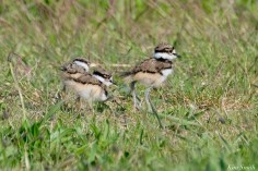 Killdeer Plover Eggs and Chicks Essex County copyright Kim Smith - 12 of 19