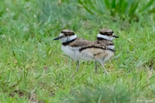 Killdeer Plover Eggs and Chicks Essex County copyright Kim Smith - 18 of 19
