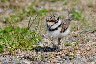 Killdeer Plover Eggs and Chicks Essex County copyright Kim Smith - 9 of 19