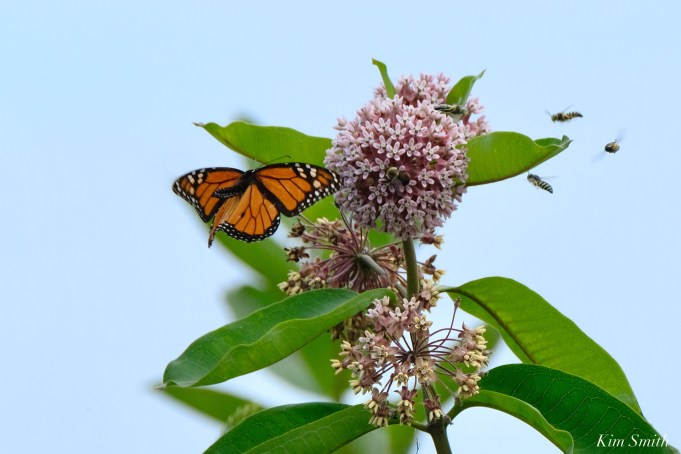 Monarch Butterflies and Bees Common Milkweed Asclepias syriiaca copyright Kim Smith - 3 of 7