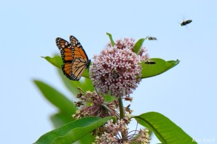 Monarch Butterflies and Bees Common Milkweed Asclepias syriiaca copyright Kim Smith - 4 of 7