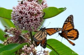 Monarch Butterflies and Bees Common Milkweed Asclepias syriiaca copyright Kim Smith - 5 of 7