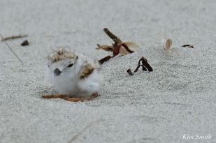 Piping Plover chick Egg Tooth Salt Island - 4 of 12