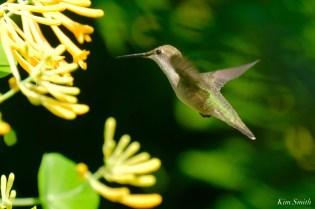 Ruby-throated Hummingbird Gloucester Garden Essex County copyright Kim Smith - 1 of 7