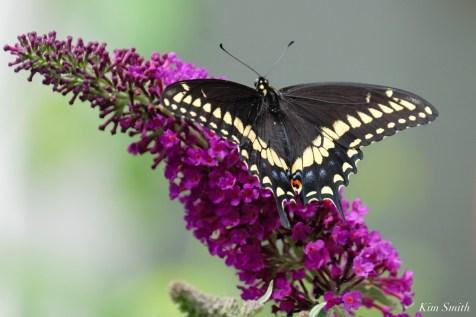 Eastern Black Swallowtail Essex County copyright Kim Smith - 3 of 3