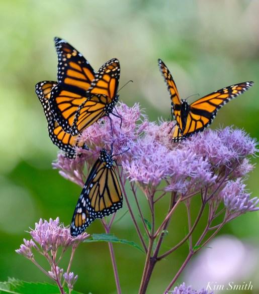 Monarch Butterflies Joe-pye -2 copyright Kim Smith