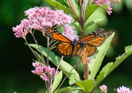 Monarch Butterflies Males Battling Cape Ann Essex County copyright Kim Smith - 7 of 7