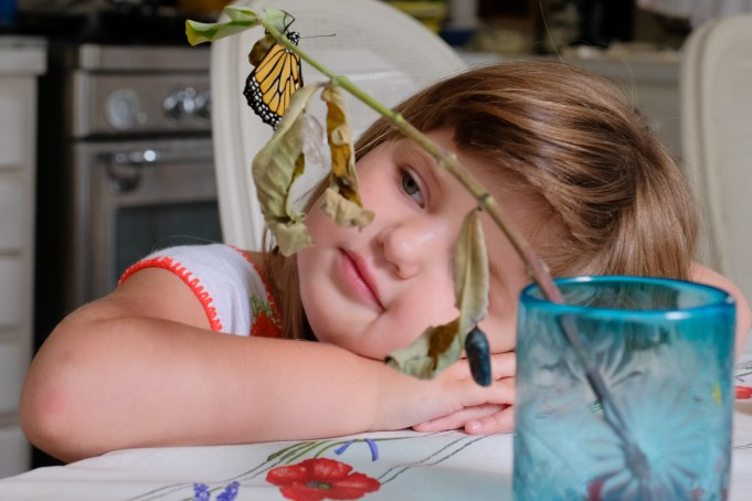 Monarchs emerging and Charlotte copyyright Kim Smith - 10 of 13