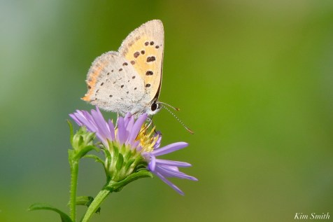 American Copper Butterfly copyright Kim Smith - 2 of 2
