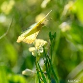 Clouded Sulphur Essex County coyright Kim Smith - 1 of 11