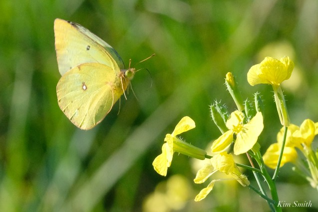 Clouded Sulphur Essex County coyright Kim Smith - 3 of 11