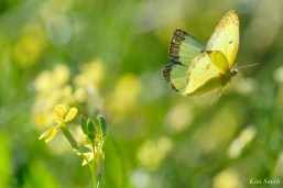 Clouded Sulphur Essex County coyright Kim Smith - 4 of 11