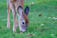 Deer eating apples copyright Kim Smith - 1 of 10