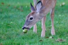 Deer eating apples copyright Kim Smith - 2 of 10