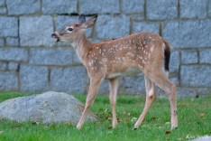 Deer eating apples copyright Kim Smith - 8 of 10