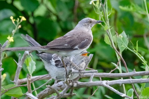 Mockingbird Juvenile Fledgling copyright Kim Smith - 3 of 4