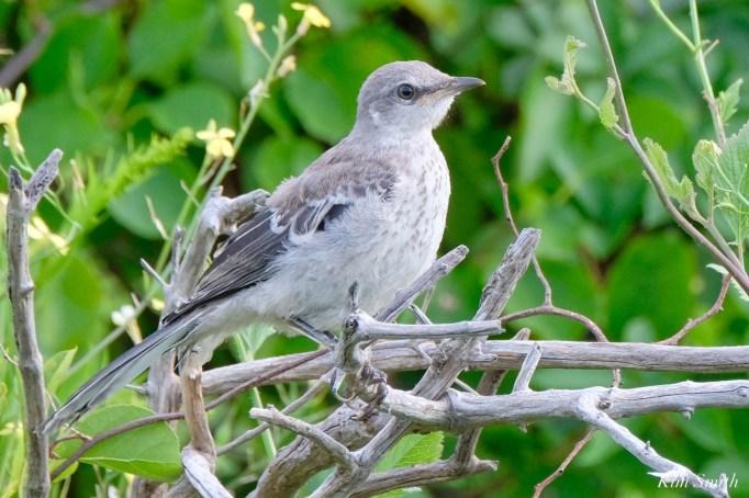 Mockingbird Juvenile Fledgling copyright Kim Smith - 4 of 4