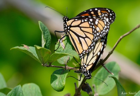 Monarch Mating Essex County copyright Kim Smith - 7 of 16