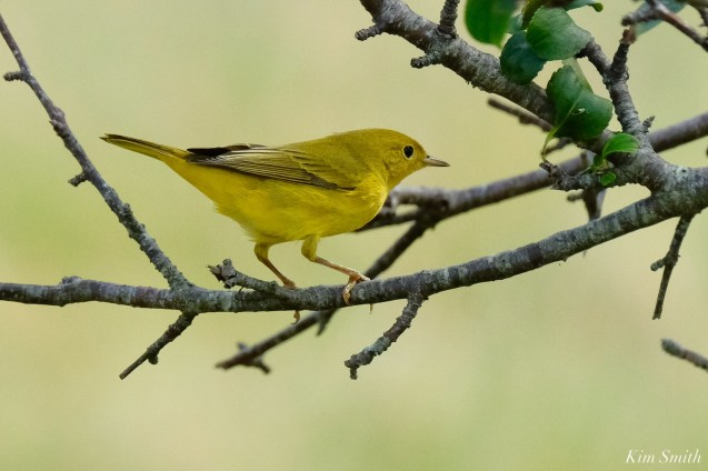 Yellow Warbler female Essex County copyright Kim Smith - 3 of 8