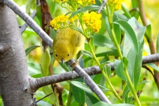 Yellow Warbler female Essex County copyright Kim Smith - 5 of 8