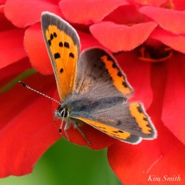 American Copper Butterfly Essex County copyright Kim Smith - 17 of 26