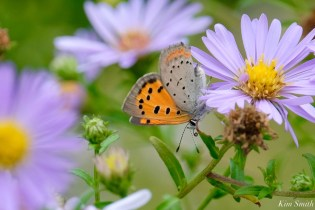 American Copper Butterfly Essex County copyright Kim Smith - 4 of 26
