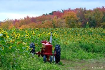 School Street Sunflowers Ipswich Essex County copyright Kim Smith - 5 of 11