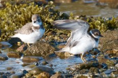 Semipalmated Plovers Eastern Point Gloucester Essex County October 23, 2021 copyright Kim Smith - 11 of 11