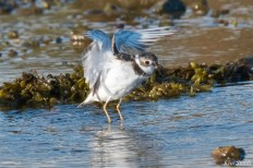 Semipalmated Plovers Eastern Point Gloucester Essex County October 23, 2021 copyright Kim Smith - 7 of 11