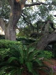 Beautiful Oak
