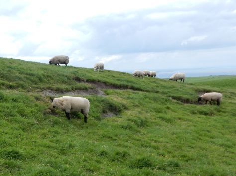 Sheep on Cliffs of Moher