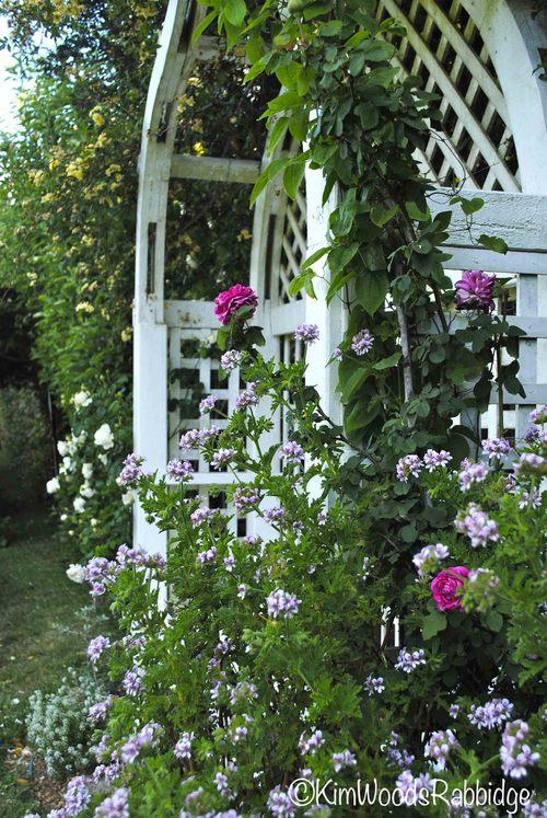 Souvenir du Docteur Jamain' peeps out behind a rose scented geranium.