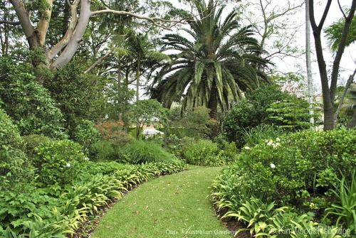 Eucalyptus saligna, Sydney blue gums are a striking, albeit a little messy, sculptural presence, and the established Canary Island date palm provides shade for a new area of ferns and ground covers.