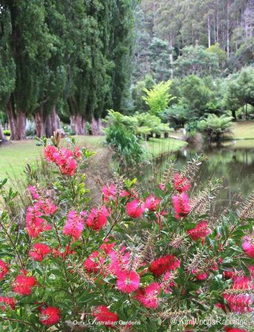 Callistemon starring by the lake.